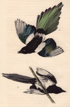 Load image into Gallery viewer, Audubon Octavo Print 227 Common Magpie, 1840 First Edition, detail