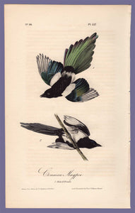 Audubon Octavo Print 227 Common Magpie, 1840 First Edition, full sheet