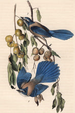 Load image into Gallery viewer, Audubon Octavo Print 233 Florida Jay, 1840 First Edition, detail