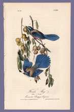 Load image into Gallery viewer, Audubon Octavo Print 233 Florida Jay, 1840 First Edition, full sheet