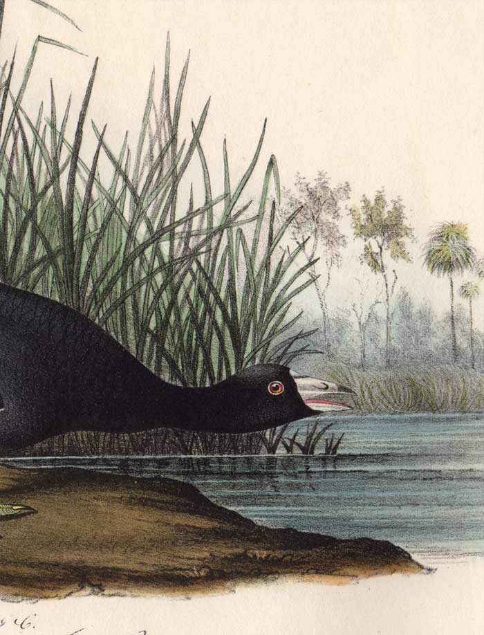 Audubon Octavo Print 305 American Coot, 1840 First Edition, detail