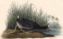 Load image into Gallery viewer, Audubon Octavo Print 305 American Coot, 1840 First Edition, detail