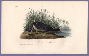 Audubon Octavo Print 305 American Coot, 1840 First Edition, full sheet