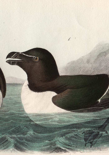 Audubon Octavo Print 466 Razor-Billed Auk, 1840 First Edition, detail