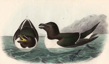 Load image into Gallery viewer, Audubon Octavo Print 466 Razor-Billed Auk, 1840 First Edition, detail