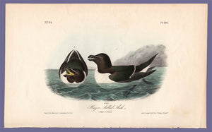 Audubon Octavo Print 466 Razor-Billed Auk, 1840 First Edition, full sheet