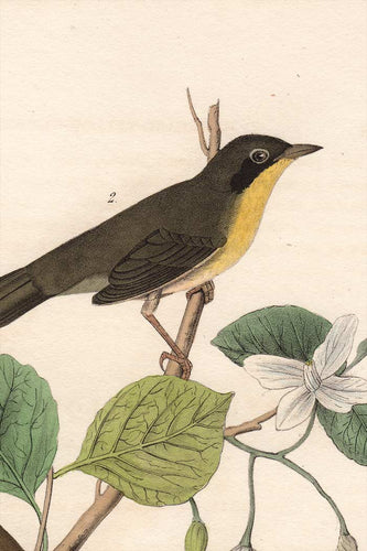 Audubon Octavo Print 102 Maryland Ground Warbler, 1840 First Edition, detail