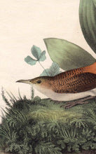Load image into Gallery viewer, Audubon Octavo Print 116 Rock Wren, 1840 First Edition, detail