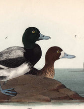 Load image into Gallery viewer, Audubon Octavo Print 498 Common Scaup Duck 1840 First Edition, detail