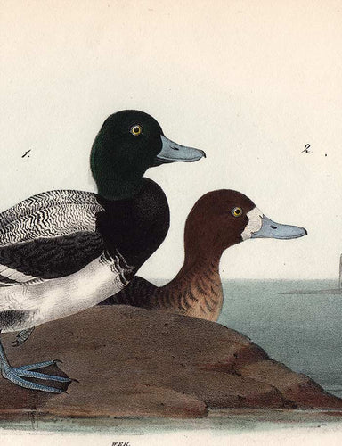 Audubon Octavo Print 498 Common Scaup Duck 1840 First Edition, detail