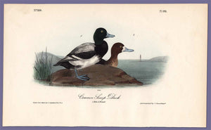 Audubon Octavo Print 498 Common Scaup Duck 1840 First Edition, full sheet