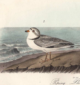 Audubon Octavo Print 321 Piping Plover 1840 First Edition, detail