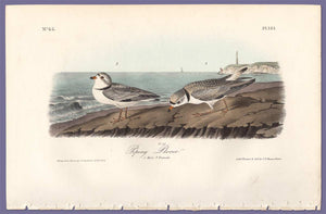 Audubon Octavo Print 321 Piping Plover 1840 First Edition, full sheet