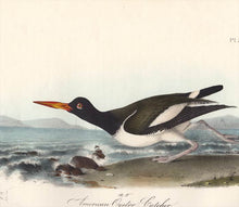 Load image into Gallery viewer, Audubon Octavo Print 324 American Oyster Catcher, detail