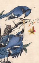 Load image into Gallery viewer, Original 1840 Audubon Octavo Print 231 Blue Jay, detail