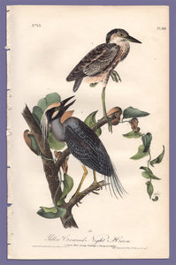 Audubon Octavo Print 364 Yellow Crowned Night Heron, full sheet