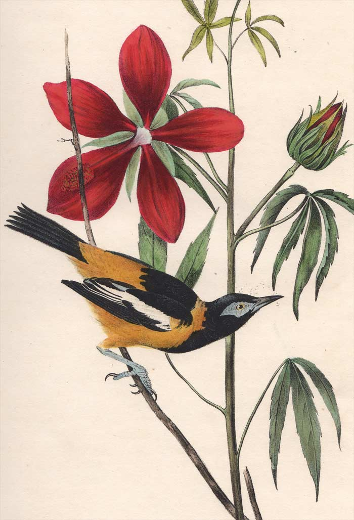Audubon Octavo Print 499 Common Troupial, detail