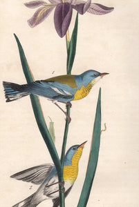 Original 1840 Audubon Octavo Print 91 Blue Yellow-Backed Wood Warbler, detail
