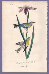 Original 1840 Audubon Octavo Print 91 Blue Yellow-Backed Wood Warbler, full sheet