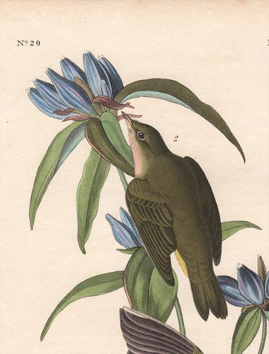 Audubon 1840 First Edition Royal Octavo Print 99 Connecticut Warbler, detail