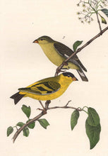 Load image into Gallery viewer, Audubon 1840 First Edition Royal Octavo Print 184 Yarrell's Goldfinch, detail
