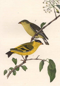 Audubon 1840 First Edition Royal Octavo Print 184 Yarrell's Goldfinch, detail