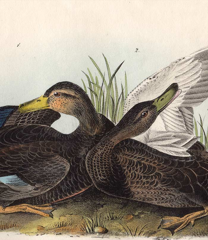 Audubon 1840 First Edition Royal Octavo Print 386 Duskey Duck