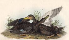 Load image into Gallery viewer, Audubon 1840 First Edition Royal Octavo Print 386 Duskey Duck