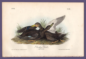 Audubon 1840 First Edition Royal Octavo Print 386 Duskey Duck, full sheet