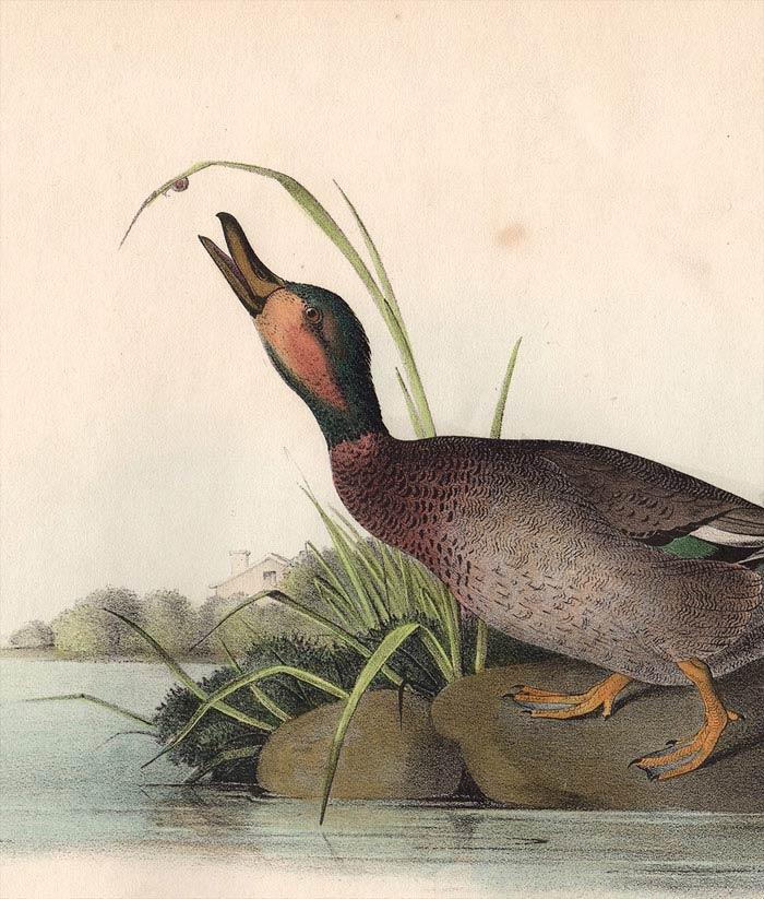 Audubon 1840 First Edition Royal Octavo Print 387 Brewer's Duck, detail