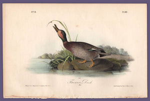 Audubon 1840 First Edition Royal Octavo Print 387 Brewer's Duck, full sheet