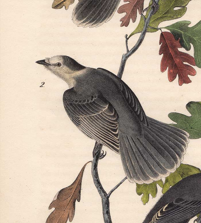 Audubon 1840 First Edition Royal Octavo Print 234 Canada Jay, detail
