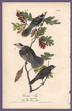 Load image into Gallery viewer, Audubon 1840 First Edition Royal Octavo Print 234 Canada Jay, full sheet