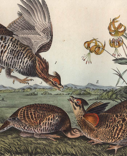 Audubon 1840 First Edition Royal Octavo Print 296 Pinnated Grouse, detail