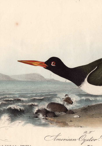 Original Audubon Print 1840 Royal Octavo, 324 American Oyster Catcher, detail