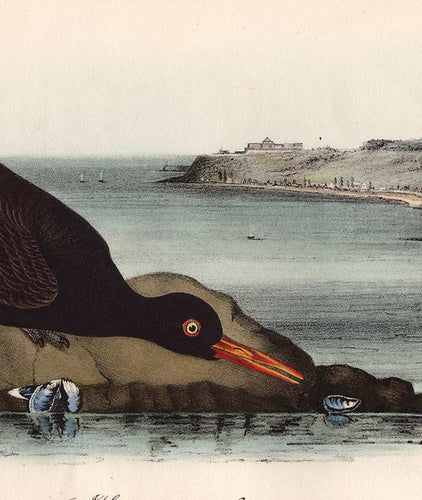 Original Audubon Print 1840 Royal Octavo, 325 Bachman's Oyster-Catcher, detail