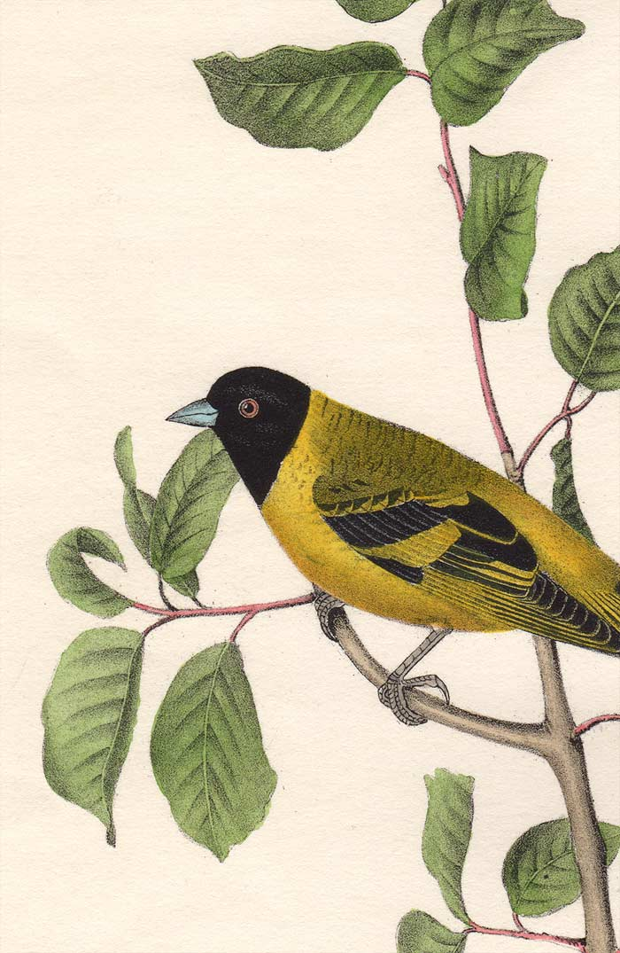 Audubon 1840 First Edition Royal Octavo Print 182 Black-Headed Goldfinch, detail