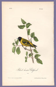 Audubon 1840 First Edition Royal Octavo Print 182 Black-Headed Goldfinch, full sheet