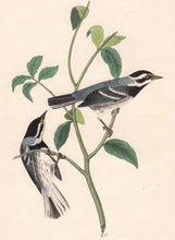 Load image into Gallery viewer, Audubon 1840 First Edition Royal Octavo Print 94 Black-Throated Grey Wood Warbler, detail
