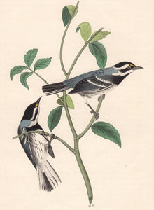 Audubon 1840 First Edition Royal Octavo Print 94 Black-Throated Grey Wood Warbler, detail