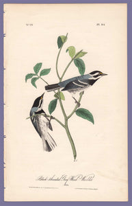 Audubon 1840 First Edition Royal Octavo Print 94 Black-Throated Grey Wood Warbler, full sheet