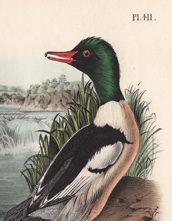Audubon 1840 First Edition Royal Octavo Print 411 Buff-Breasted Merganser, detail