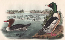 Load image into Gallery viewer, Audubon 1840 First Edition Royal Octavo Print 411 Buff-Breasted Merganser, detail