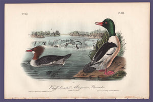 Audubon 1840 First Edition Royal Octavo Print 411 Buff-Breasted Merganser, full sheet