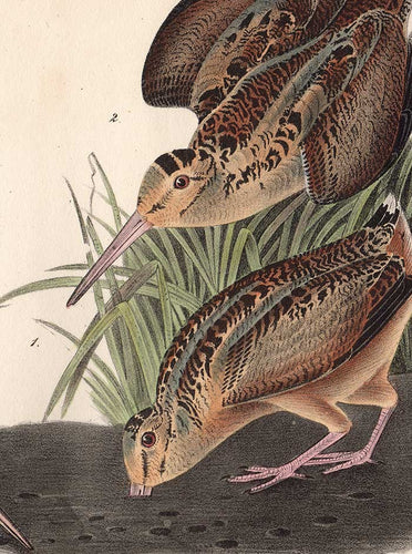 Audubon 1840 First Edition Royal Octavo Print 352 American Woodcock, detail