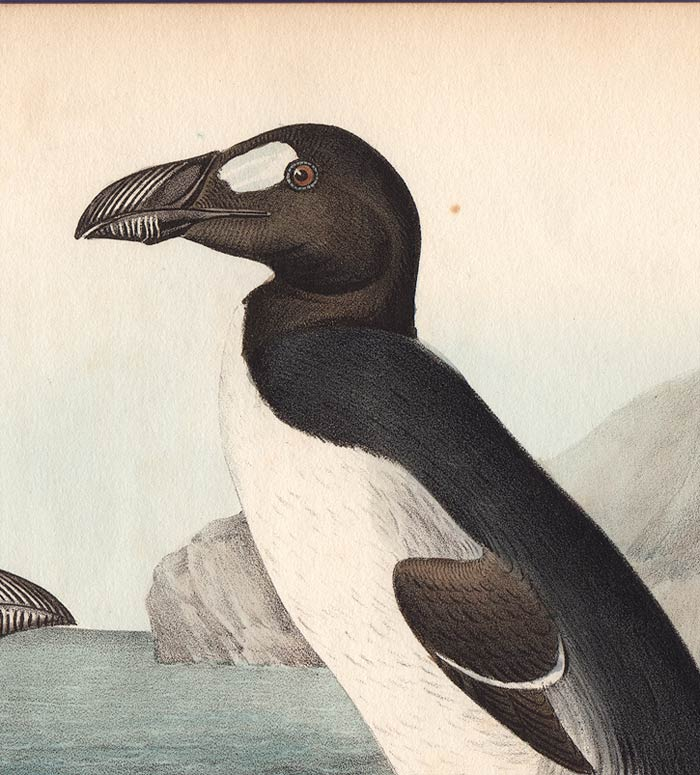 Audubon 1840 First Edition Royal Octavo Print 465 Greater Auk, detail