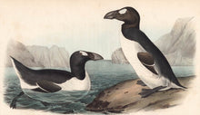 Load image into Gallery viewer, Audubon 1840 First Edition Royal Octavo Print 465 Greater Auk, detail