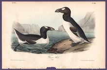 Load image into Gallery viewer, Audubon 1840 First Edition Royal Octavo Print 465 Greater Auk, full sheet