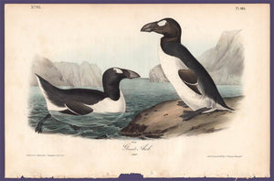 Audubon 1840 First Edition Royal Octavo Print 465 Greater Auk, full sheet