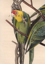 Load image into Gallery viewer, Audubon 1840 First Edition Royal Octavo Print 278 Carolina Parrot or Parakeet, detail